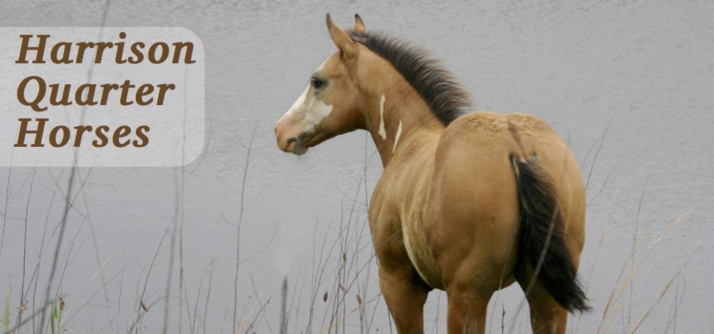 Harrisonquarterhorses